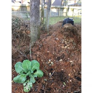 Pile of pine needles with Collard plant and black compost bin in background
