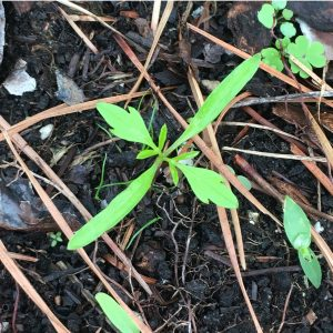 Overhead shot of a small sprout with soil and pine needles visible. Field of view 3 inches