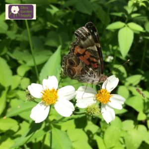 Photograph of an American Lady Butterfly, which is orange and black and brown. The wings are closed and the butterfly is on a small white daisy like flower with a yellow center. Image includes Okra Garden Supply logo.